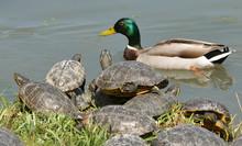Aquatic Turtles And Male Mallard