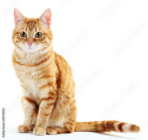 Fotografie, Tablou Portrait of red cat isolated on white