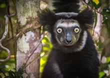 Indri, The Largest Lemur Of Ma...