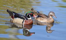 Male And Female Wood Duck Swim...