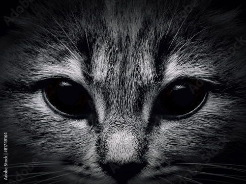 dark muzzle cat close-up. front view #81749164