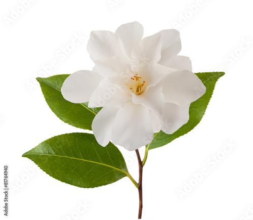 camellia flower Slika na platnu