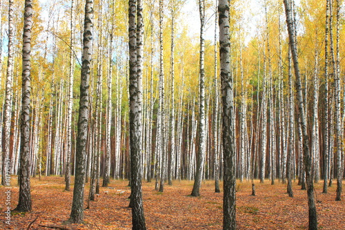 Garden Poster Birch Grove Autumn trees with yellowing leaves