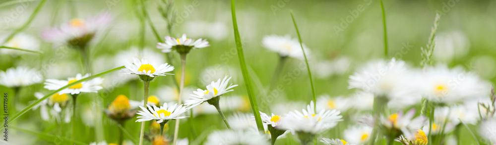 Fototapety, obrazy: Chamomile in grass