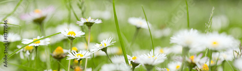 Chamomile in grass #81771546