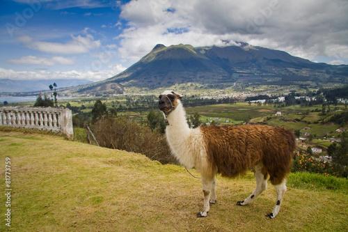 Poster Lama Portrait of cute llama in San Pablo lake, Imbabura, Ecuador