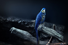Hyacinth Macaw Parrot Portrait In Blue Background