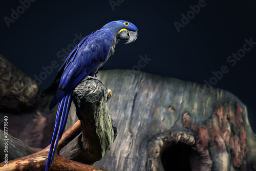 Fotografie, Obraz Hyacinth Macaw parrot portrait in blue background