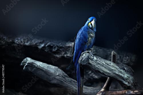 Autocollant pour porte Perroquets Hyacinth Macaw parrot portrait in blue background