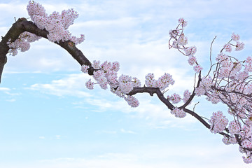 Fototapeta Egzotyczne Blossoming cherry tree branch against blue sky with clouds