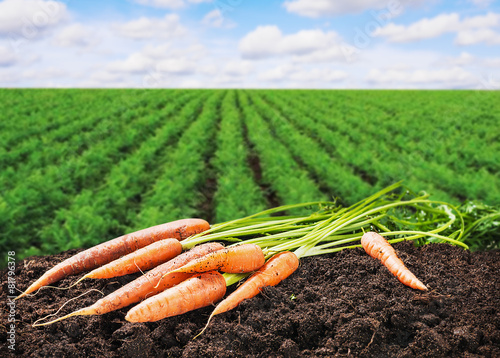 Obraz fresh carrots on the ground in the soil - fototapety do salonu
