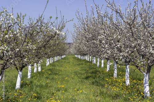 Plum trees flowering time 2