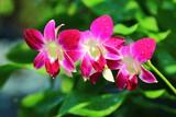 Orchidee w parku w Tajlandii