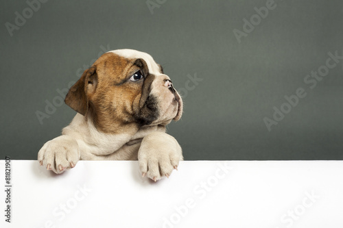 English  bulldog puppy. Poster