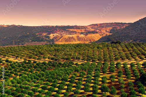 Fotografía Olive Plantation