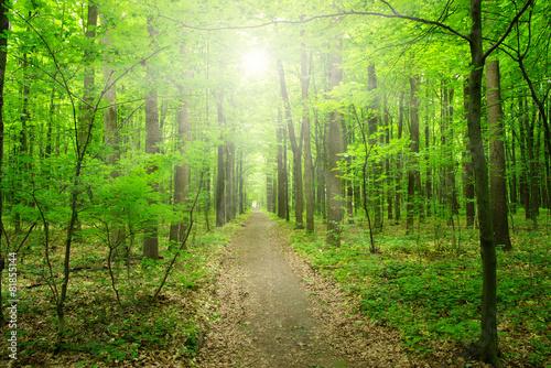sunlight forest #81855144