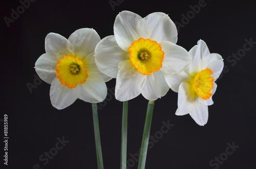 Papiers peints Narcisse Нарциссы на черном фоне