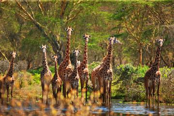 Obraz na Szkle giraffe