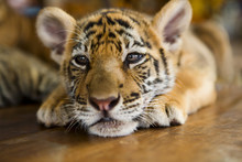 Cute Little Tiger Cub Lying On...