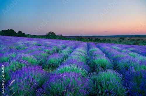 Fototapeta Meadow of lavender at sunrise obraz na płótnie