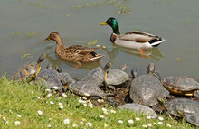 Water Turtles And Mallards Cou...