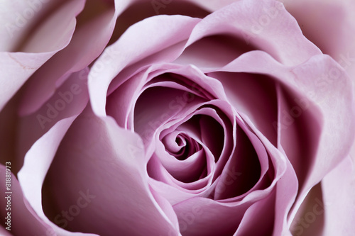 purple-rose-close-up-roza-pamiec-odmiany