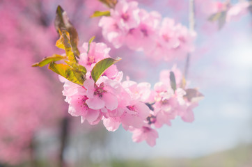 Pink cherry blossom background with pastel color