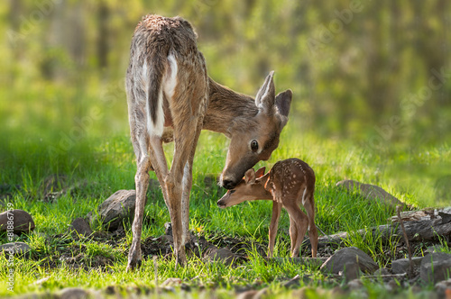 Poster Hert White-Tailed Deer (Odocoileus virginianus) Mother and Fawn