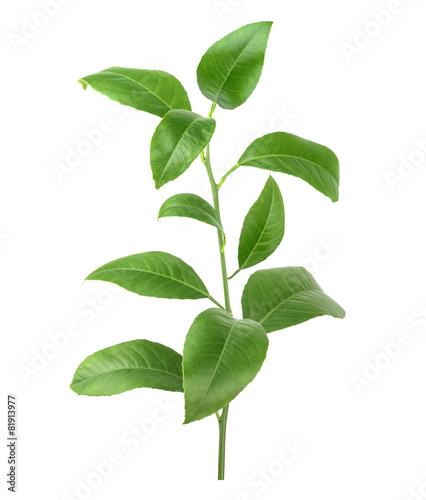 cytryn-zieleni-liscie-odizolowywajacy-na-bialym-tle