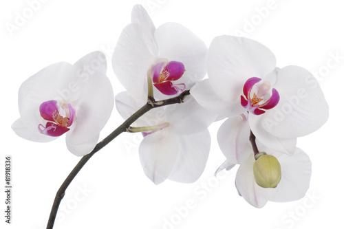 Fototapeta premium Storczykowy kwiat na białym tle