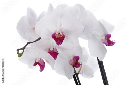 Orchid flower on a white background - 81918341