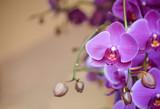 Fototapeta Orchid - phalaenopsis orchid flower