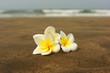 plumeria on the sand
