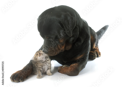 Rottweiler And Kitten Exotic Shorthair Buy This Stock Photo And