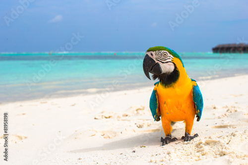 Obraz na płótnie Cute bright colorful parrot on the white sand in the Maldives
