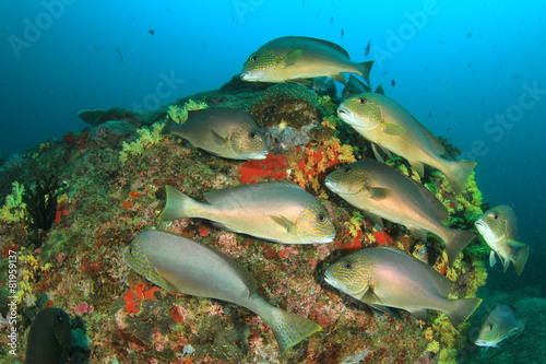 Silver Sweetlips fish on coral reef #81959137