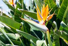 Bird Of Paradise Flower (Strelitzia) In Spring