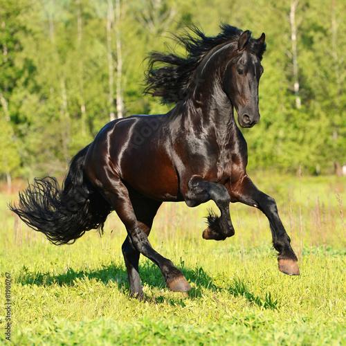 Foto op Canvas Paarden Black Frieasian horse runs gallop in freedom