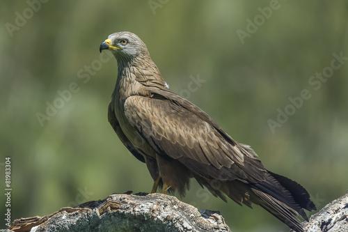 Poster Aigle black kite (milvus migrans)