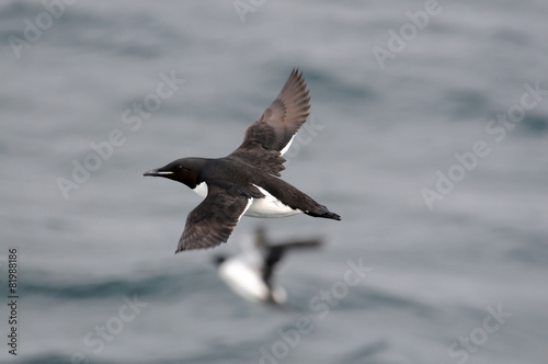 Fotografia  A Thick-billed Murre flies far off shore over the Arctic Ocean,