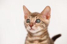 Blue Bengal Kitten