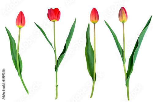 Foto op Plexiglas Tulp tulips flower set isolated on white close-up clipping path