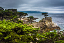 The Lone Cypress, Seen From The 17 Mile Drive, In Pebble Beach,