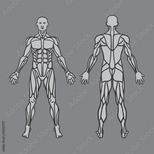 Fotografie, Tablou  Anatomy of male muscular system. Human muscles