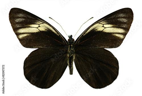 Photo sur Toile Papillons dans Grunge Butterfly Pereute charops