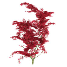 Exotic Red Tree With Big Leaves