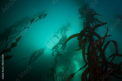 Fotobehang Koraalriffen Giant Kelp Underwater