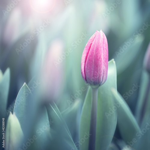 piekny-miekki-fiolkowy-kolor-zamazywal-tulipanu-tlo