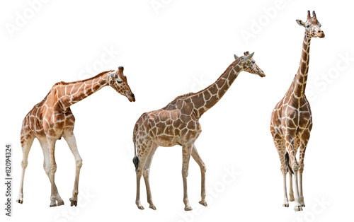 Foto auf Gartenposter Giraffe three large giraffes isolated on white