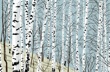 Fototapeta Brzoza birchwood in the spring